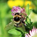 Ruderal Bumblebee