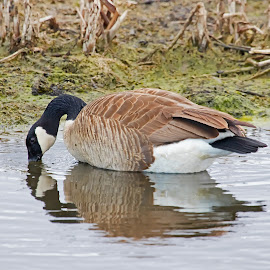 Canada Goose by Bill Diller - Animals Birds ( water birds, canada goose, marsh birds, reflection, michigan, nature, reflections, goose, state wildlife area, fish point wildlife area, birds, water, wildlife area, marsh, wildlife )