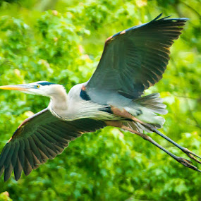 Great Blue Heron by Scott Turnmeyer - Animals Birds ( great, blue, heron )