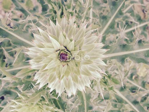White thistle flower single flower flowers pixoto white thistle flower by ada irizarry montalvo flowers single flower mightylinksfo