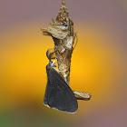 Bagworm Moth (male)