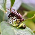Giant Brown Paper Wasp / बारूलाको प्रजाती