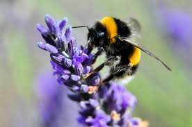 Image result for bee and lavender