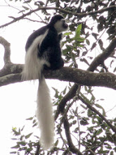 Photo: Colobus monkey