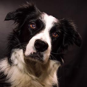 Border Collie In Studio by Thyra Schoonderwoerd - Animals - Dogs Portraits ( studio, fotografia, bordercollie, dog, photography )