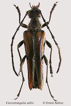 Photo: Cerrostrangalia solisi, 16,5 mm, Costa Rica, Mirador de Quetzales (09°38´/-83°50´), leg. Erwin Holzer. New species! Described by Frank T. Hovore & John A. Chemsak, 2005