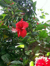Photo: The hibiscus - another old friend from Los Angles. We had a big hibiscus bush in our back yard.