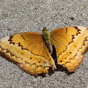 Large Yeoman Female