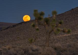 Photo: Joshua tree and full moon rise.