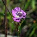 Purple False Foxglove