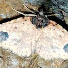 Indistinct Carpet moth