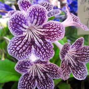 Cornett Flower by Viive Selg - Flowers Flower Gardens (  )