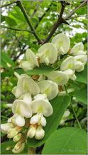 Photo: Salcâm (Robinia pseudoacacia)  - Turda, Calea Victoriei, Bloc B 16 - 2019.05.16