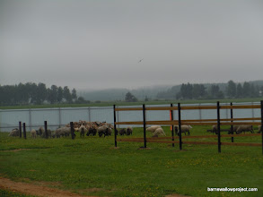 Photo: Sheep on the grounds at the barn