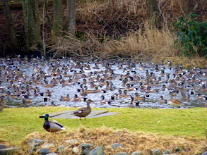 Photo: There are literally hundreds of American Wigeon in the pond. The one with the brown head is a Eurasian Wigeon which is an uncommon winter visitor: