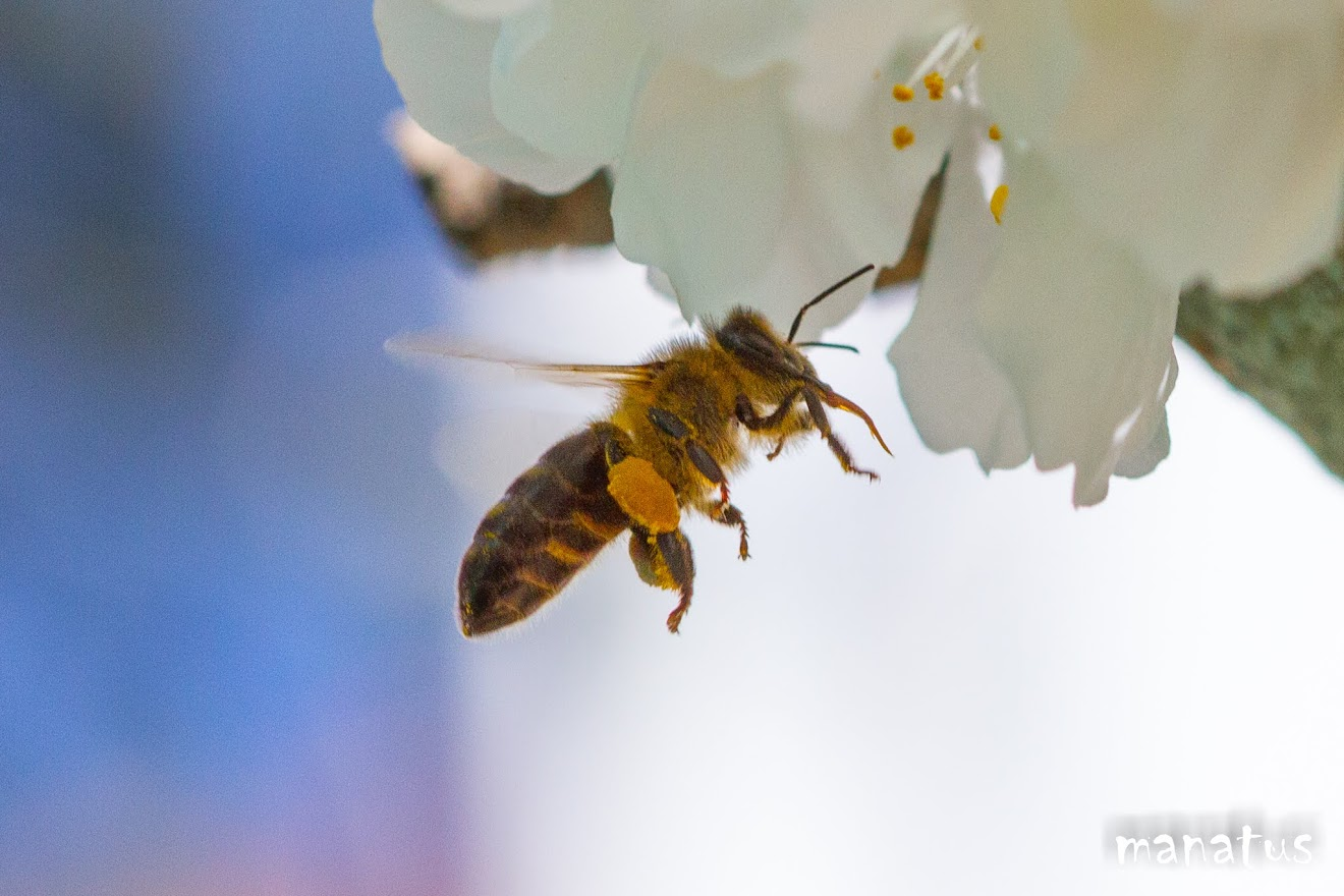 abeja con la lengua fuera