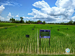 Photo: SRI experimental field inLvea Village, Ang Popel commune, Korng Pisey district, Kampong speu province