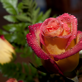 Water Mist by Gary Enloe - Flowers Single Flower ( rose, pedals, thorns, valentine, flower )