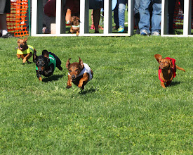 Photo: Wiener Dogs in the homestretch. Photo by Coady Photography