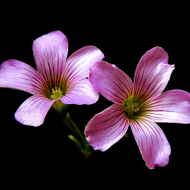 Wood sorrel  by Asif Bora - Flowers Flowers in the Wild