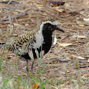 Pacific Golden Plover/ Kolea (Breeding Plumage)