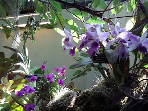 Photo: More orchids.