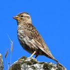 Rock sparrow; Gorrión chillón