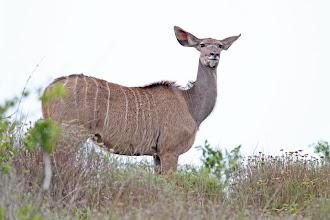 Photo: Greater Kudu
