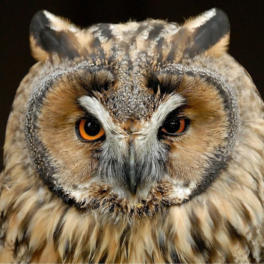 Eyes to Eyes by Bencik Juraj - Animals Birds ( bird, bird of prey, owl, birding,  )