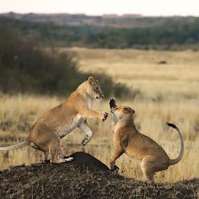 All work and no play makes lionesses boring subjects by Shreyas Kumar - Animals Lions, Tigers & Big Cats ( big cat, lioness jump, lion, lionesses fighting, masai mara,  )