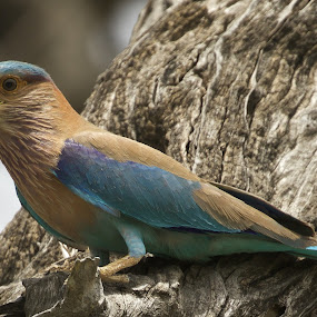 Blue Beauty by Gayatri Pimple - Animals Birds ( beauty, nature, nature up close, bird pictures, blue bird, beauty in nature, birds, birding, blue, bird photography, bird, roller, nature close up )