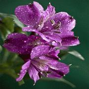 Purple Flowers Shine LWP
