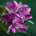 Purple Flowers Shine LWP APK