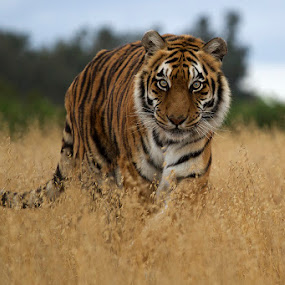 Stalking Tiger by Chris Seaton - Animals Lions, Tigers & Big Cats ( stripes, feline, outdoors, mammal, exotic, tiger, big cat, eyes,  )