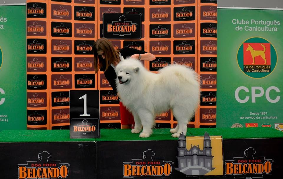 Passerelle canina em Lamego volta a distinguir Samoiedo