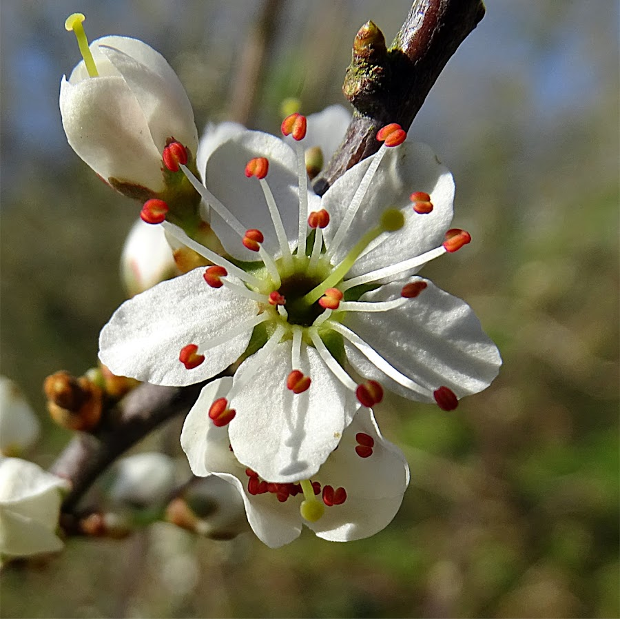 Wild plum by Cliff Oakley - Flowers Tree Blossoms ( spring, flowers, environment, nature, countryside, uk, west sussex, wild, wildlife )