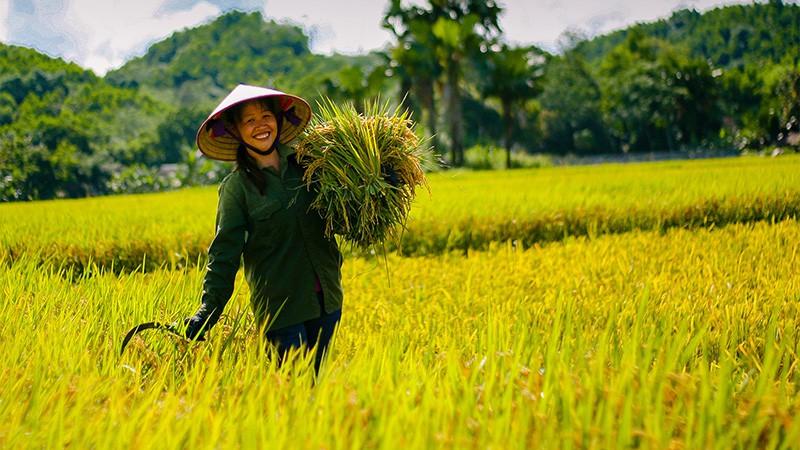 Tin mừng: Giá gạo Việt Nam xuất khẩu vươn lên cao nhất thế giới