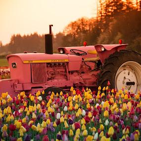 Tractor in the tulip field by Ivan Johnson - Flowers Flower Gardens (  )