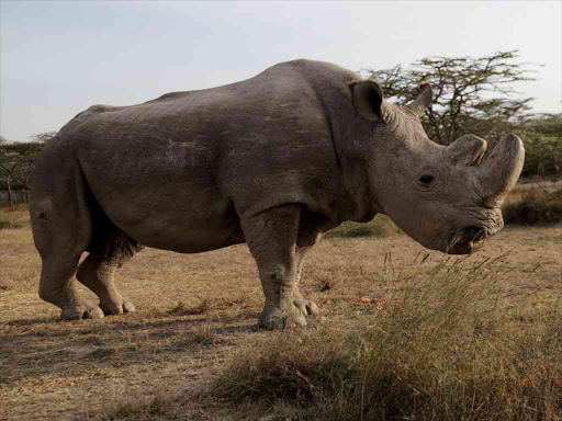 The last surviving male northern white rhino named 'Sudan' is seen at the Ol Pejeta Conservancy in Laikipia, Kenya June 18, 2017. REUTERS