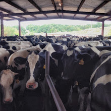 Photo: A barn full of cows ready to milk.