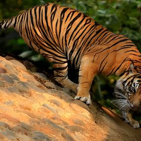 Let's Play by Yohanes Arief Dewanto - Animals Lions, Tigers & Big Cats ( big cat, wild, wilderness, tiger, animal,  )