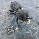 Iron clad beetle