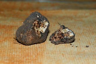 Photo: Première truffe trouvée par Ibanez toute seule