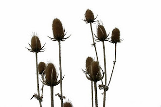 Photo: Wild thistles reaching for the sky