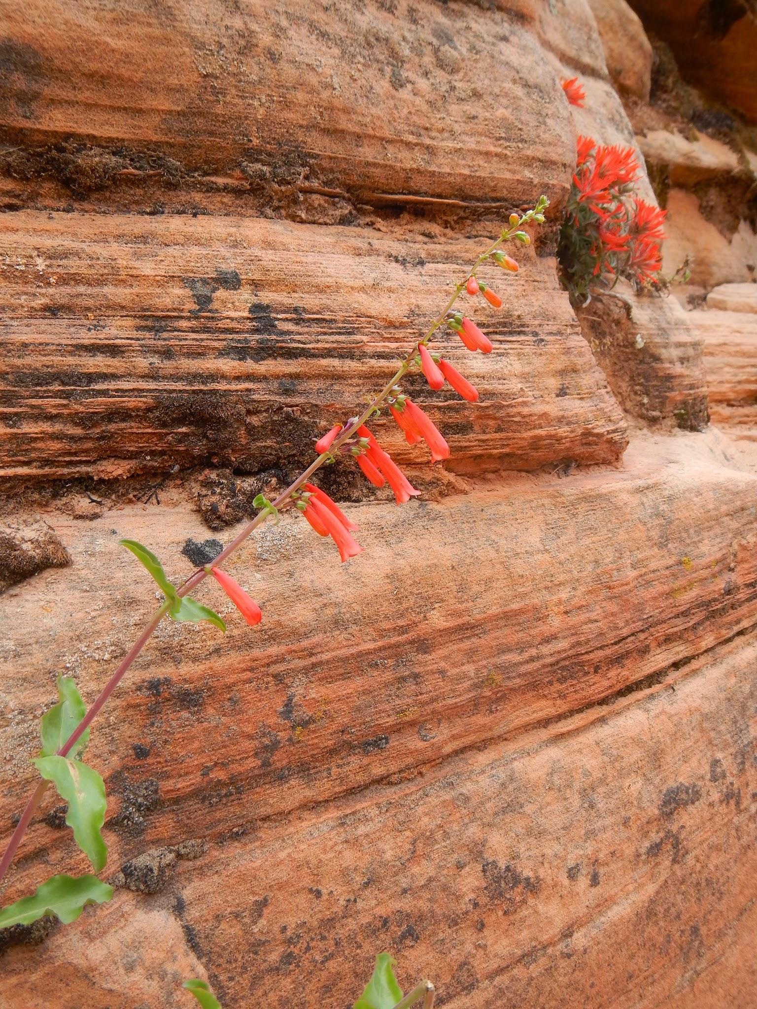 Photo: Desert penstemon
