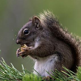 by Lyle Gallup - Animals Other Mammals ( squirrel, feeding, animal, greedy, eating, cute,  )