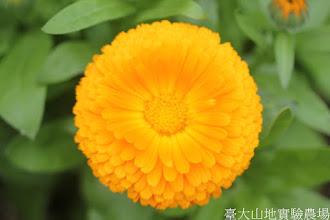 Photo: 拍攝地點: 梅峰-溫帶花卉區 拍攝植物: 金盞花 拍攝日期: 2015_11_13_FY