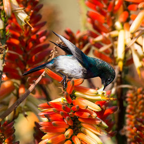 something sweet by Dawie Nolte - Animals Birds ( aloe, red, white bellied sunbird, wings, rocket aloe )