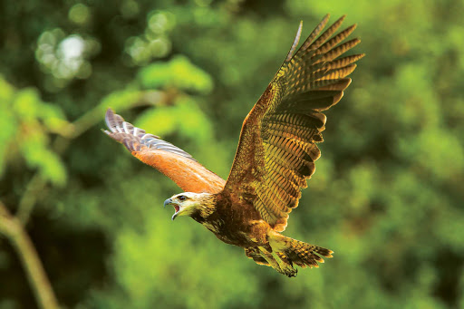 A black-collared hawk flies in the Pacaya-Samiria National Reserve in the Amazon during a Lindblad Expeditions visit.