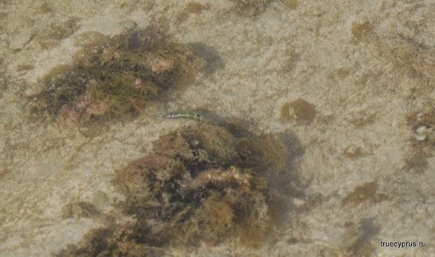 рыба, кипр, кораллия пляж, пафос, пейя